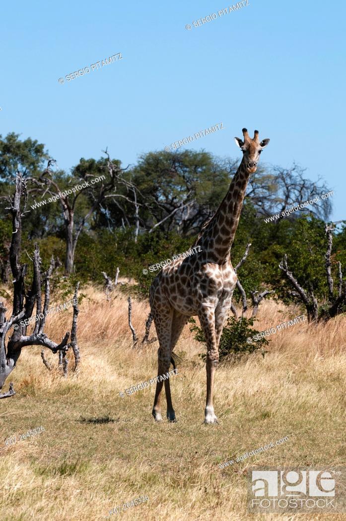 Stock Photo: Southern giraffe (Giraffa camelopardalis), Khwai Concession, Okavango Delta, Botswana.