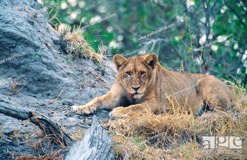 Stock Photo: Young lioness (Panthera leo). Linyanti Swamp. Botswana.