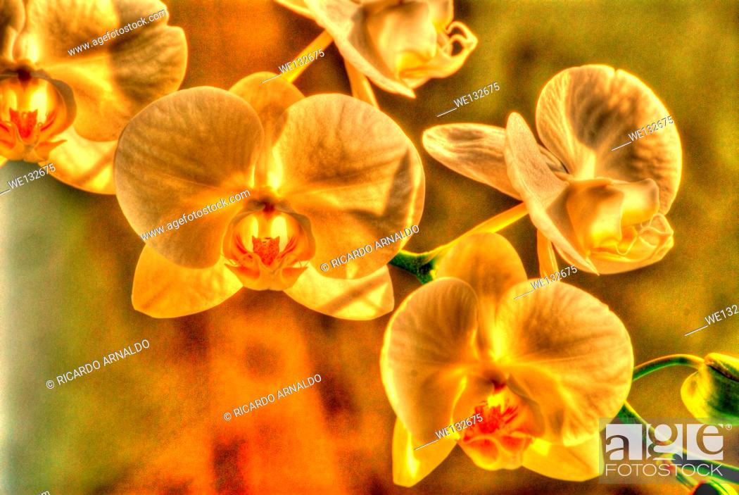 Stock Photo: Yellow Phaleonopsis.