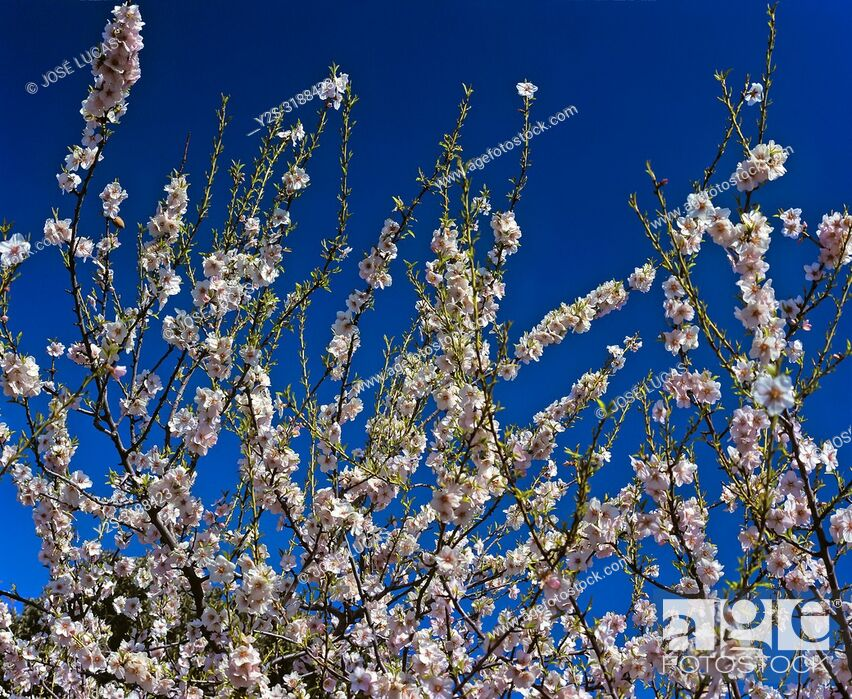 Stock Photo: Almond tree - flowers. Natural Park of Sierra Magina. Jaen - province. Region of Andalusia. Spain. Europe.