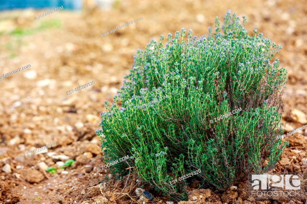 Stock Photo: Fresh Thyme plantation in a garden.