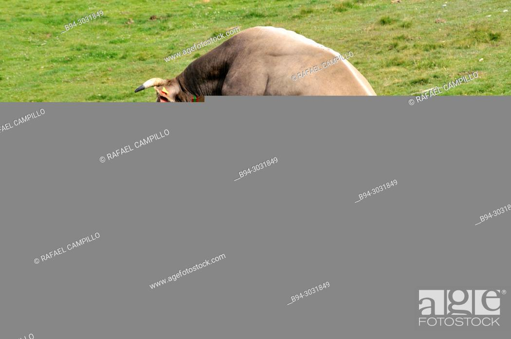Stock Photo: Caws copulation. Andorra, Europe.