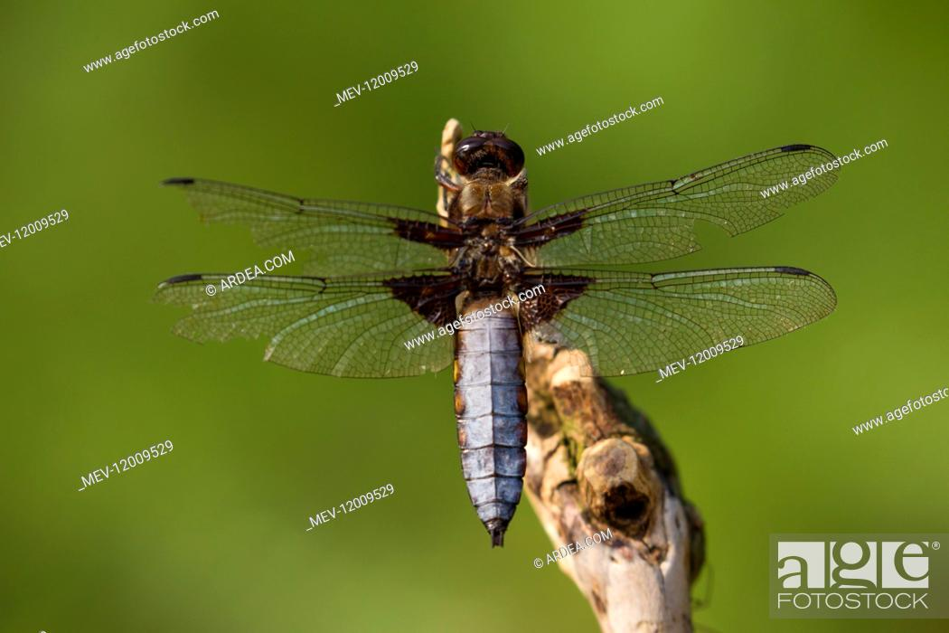 Imagen: Broad-bodied Libellula, Broad-bodied Chaser - male resting on a stalk - Germany.