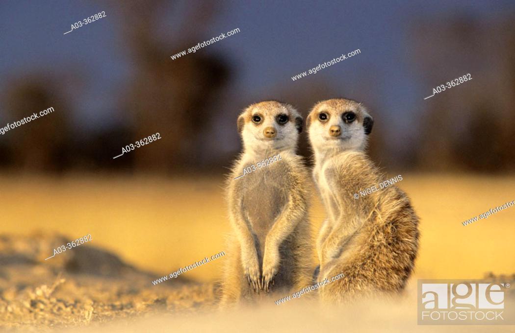 Stock Photo: Meerkat or suricate (Suricata suricatta). Kgalagadi Transfrontier Park, Kalahari. South Africa.