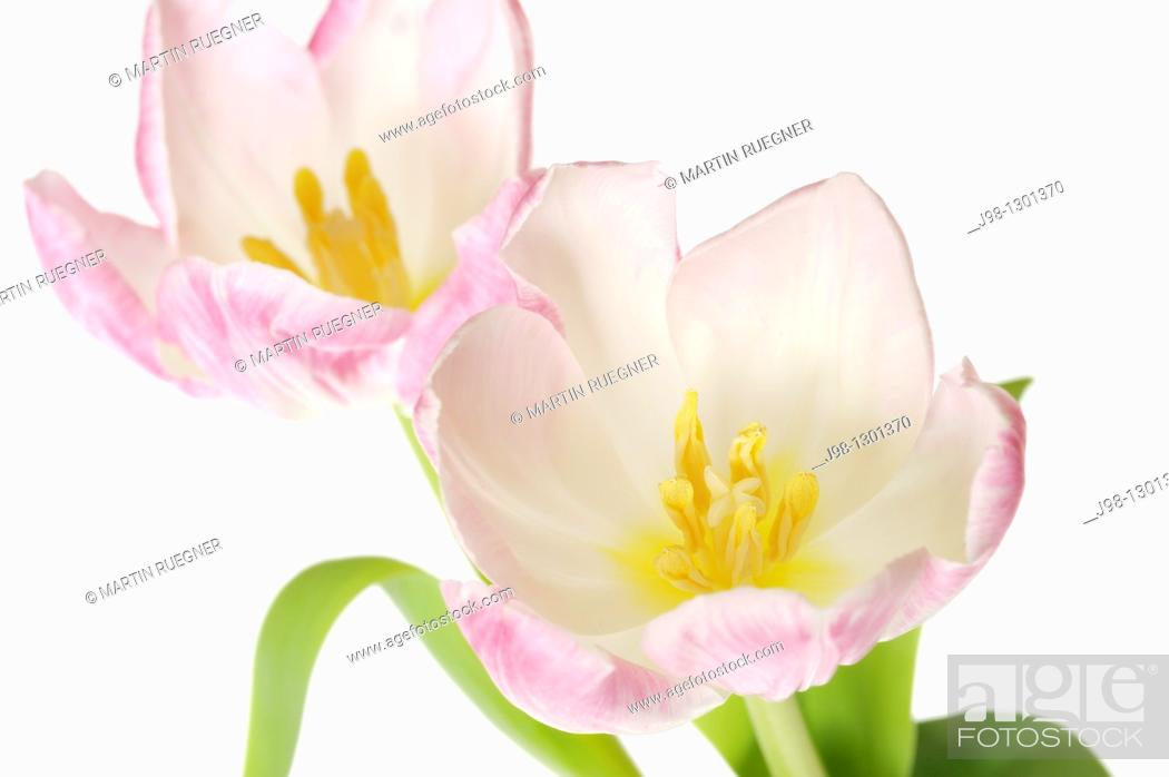 Stock Photo: Tulip Tulipa sp  against white background, close up  Studio shot.