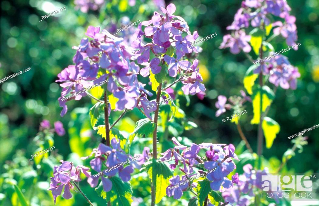Stock Photo: honesty plant (Lunaria annua), blooming.