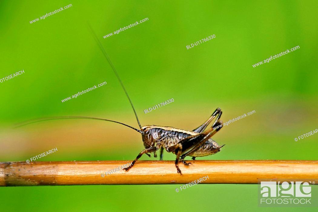 Stock Photo: Baby grasshopper.