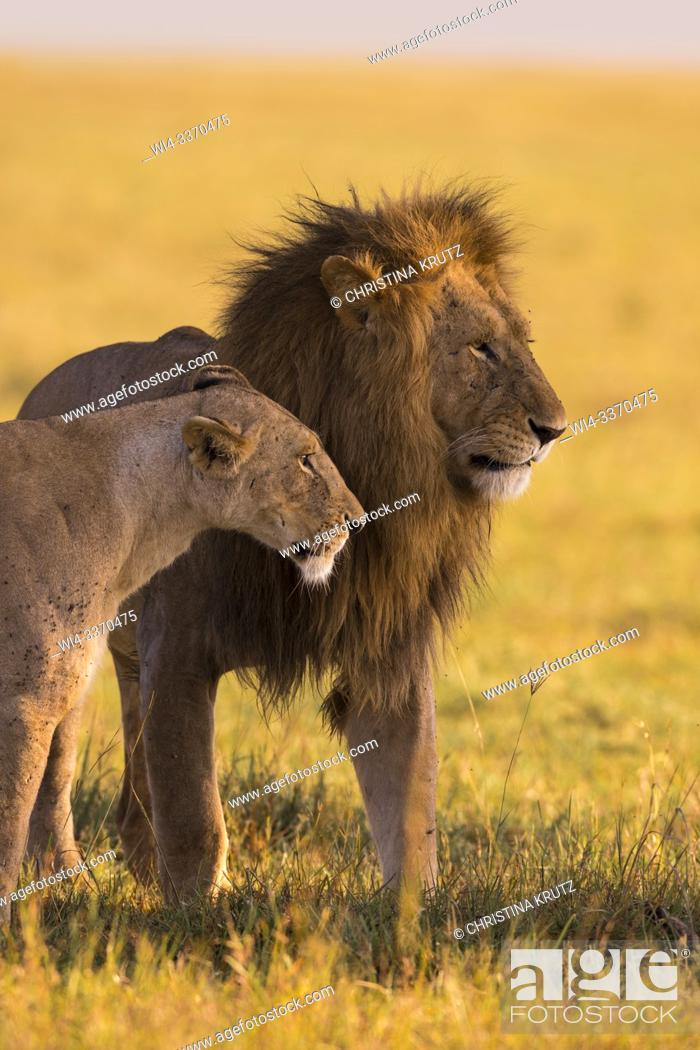 Stock Photo: African Lions (Panthera leo), male and female standing in grass, Maasai Mara National Reserve, Kenya.