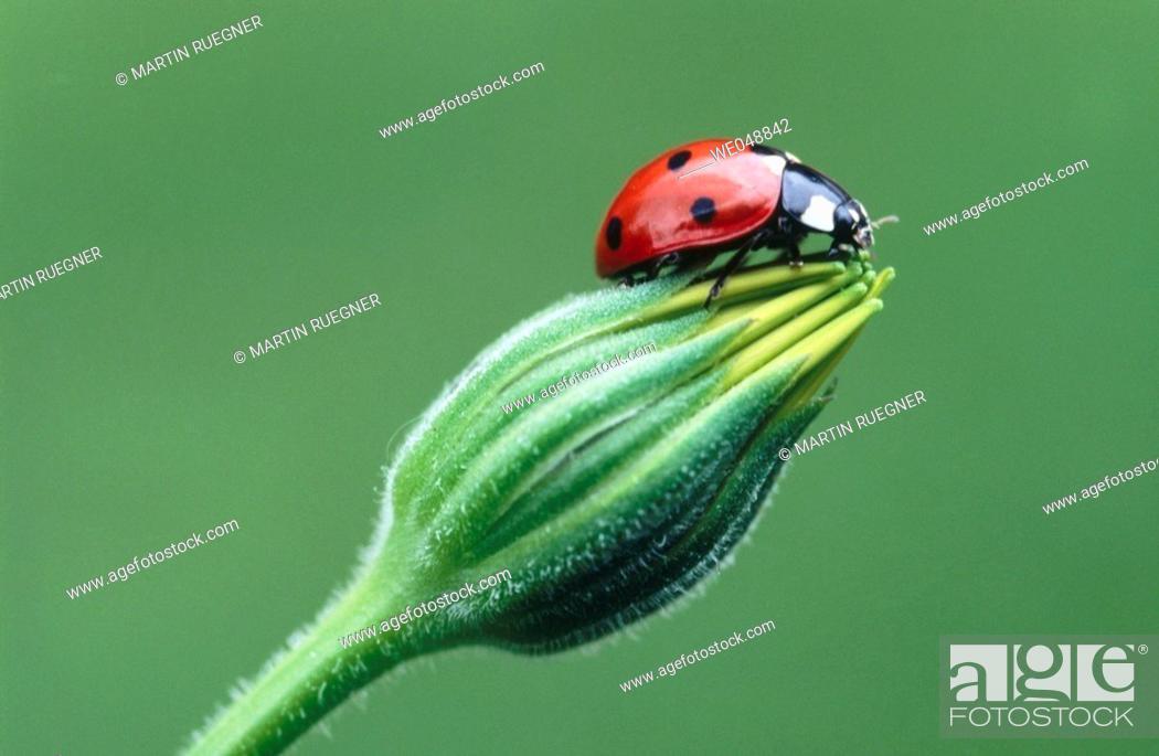 Stock Photo: Ladybird (Coccinella septempunctata). Bavaria, Germany.