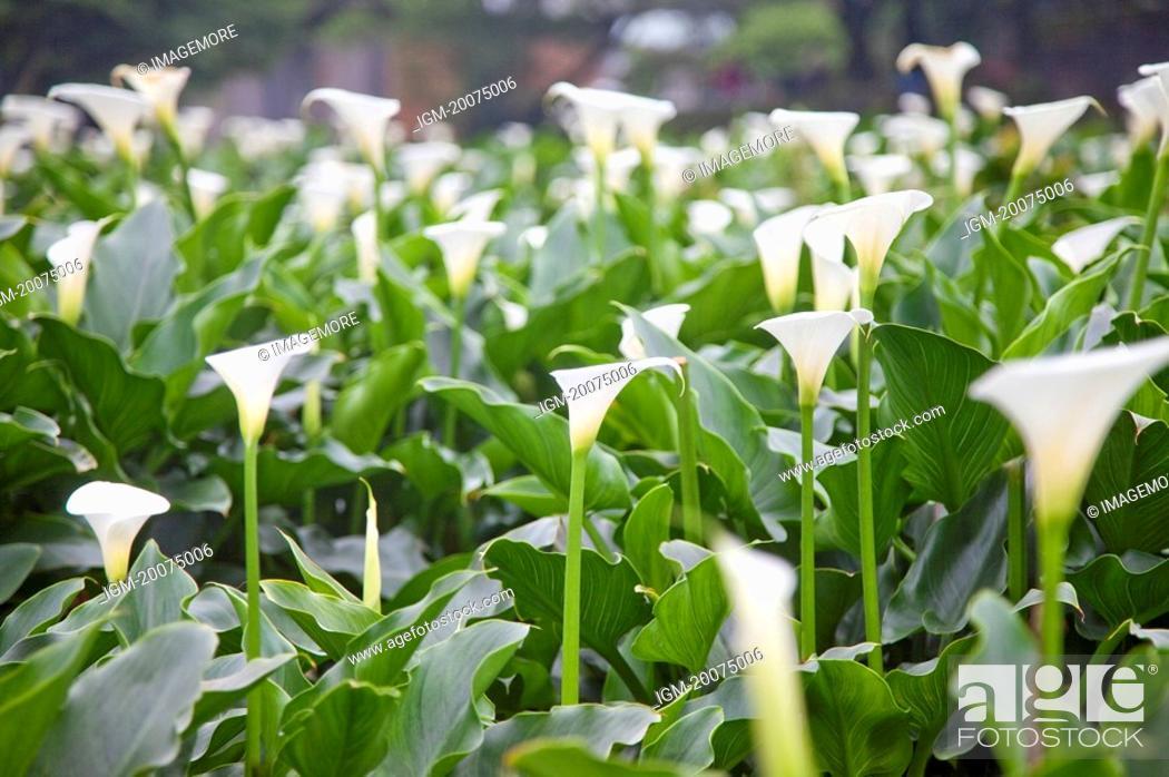 Stock Photo: Calla Lily, Mt.Yang-ming, Yang-ming Mountain, Yangmingshan, Taipei, Taiwan, Asia.