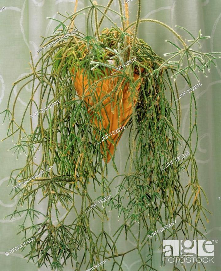 Stock Photo: cactus / Erythrorhipsalis pilocarpa.