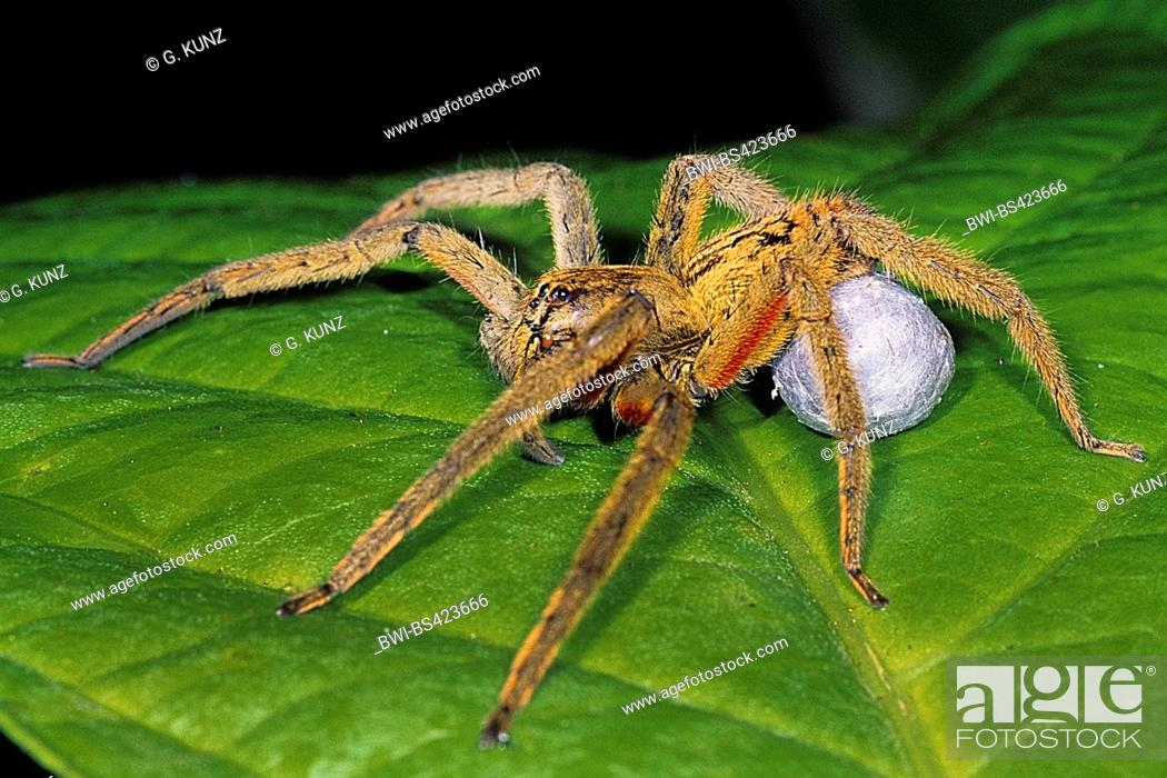 Stock Photo Wandering Spider Banana Cupiennius Getazi Female Sitting On A Leaf With Weaved Co Side View Costa Rica