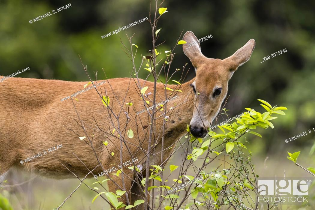 Stock Photo: Adult female marsh deer, Blastocerus dichotomus, Pousado Alegre, Mato Grosso, Brazil.