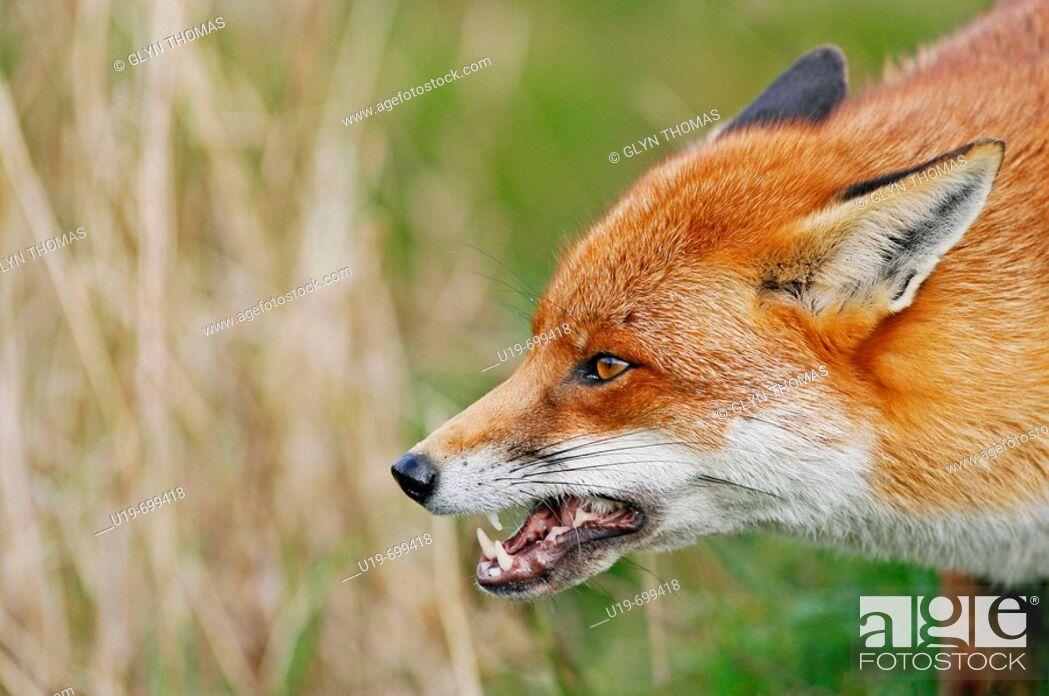 Stock Photo: Red fox Vulpes vulpes baring its teeth.