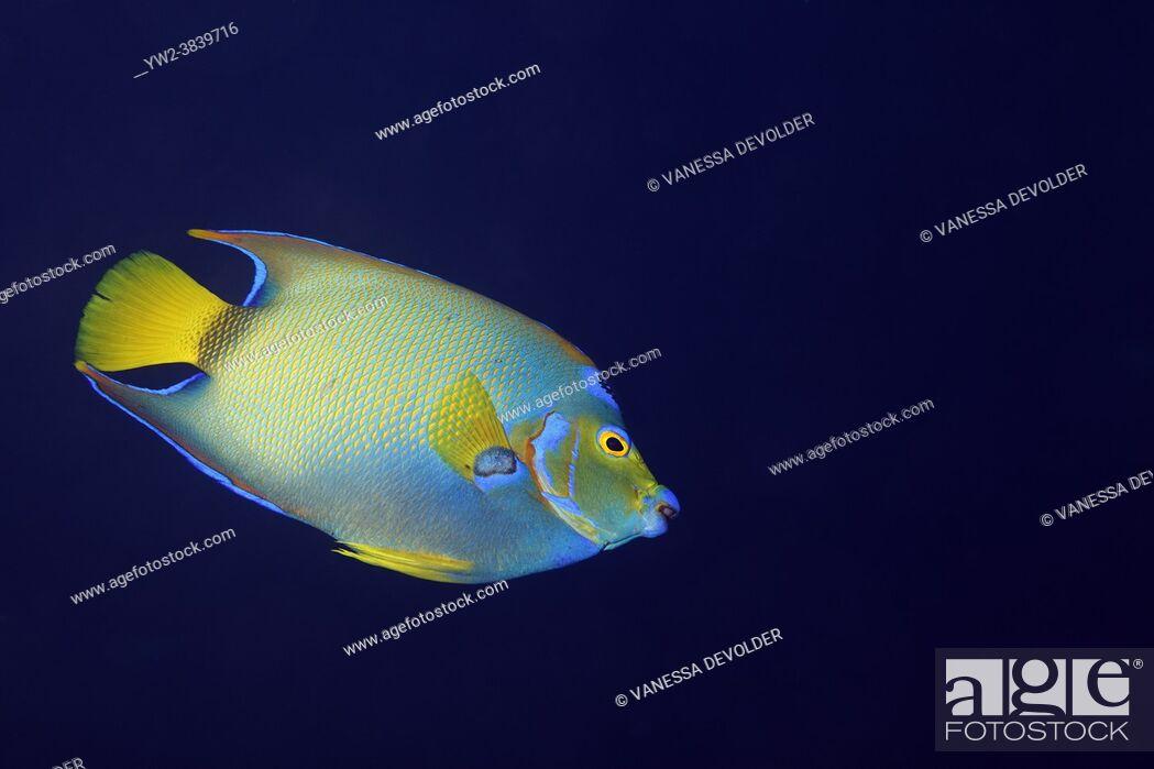 Stock Photo: Queen angelfish in the Caribbean sea around Bonaire.