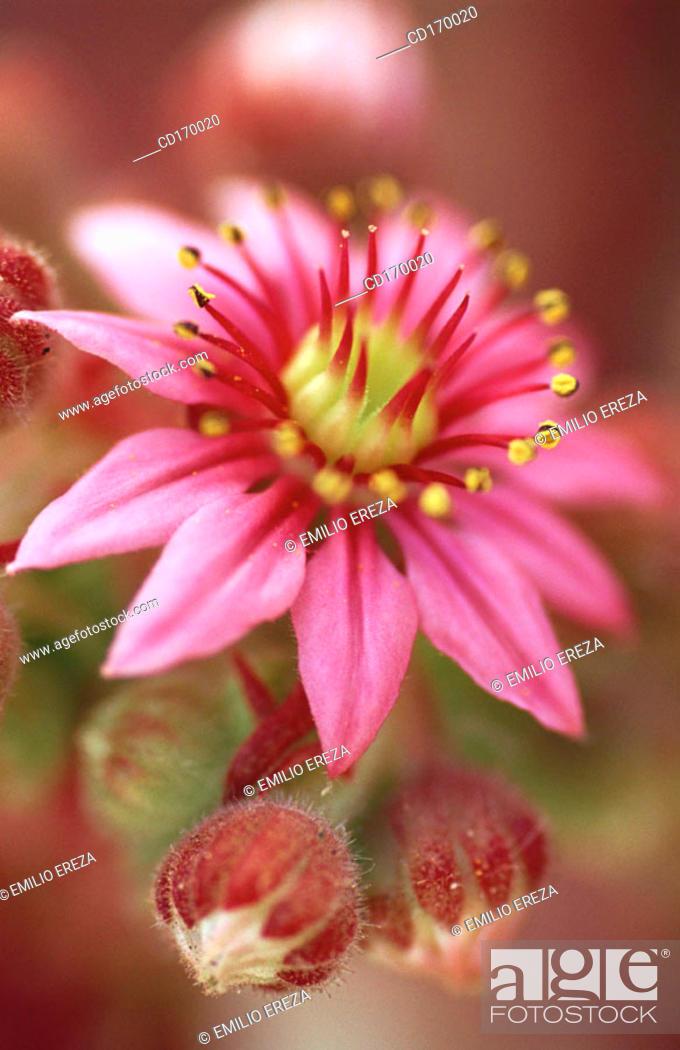 Stock Photo: Sempervivum arachnoideum.