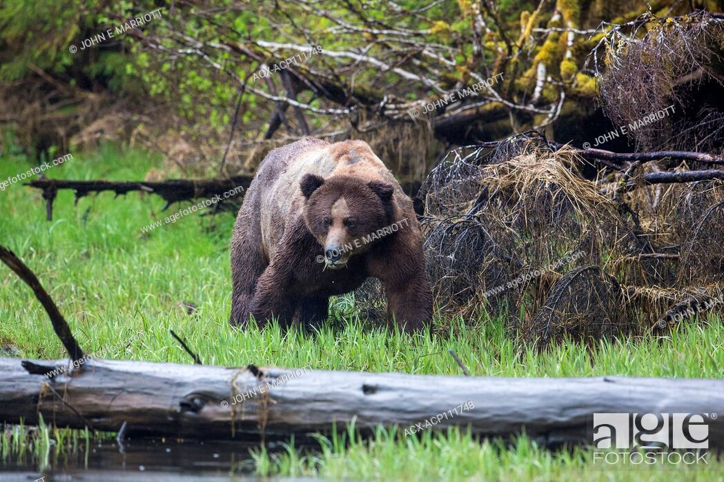Stock Photo: A giant battle-scarred, old, male grizzly bear in the Kwinamass Conservancy in British Columbia, Canada.