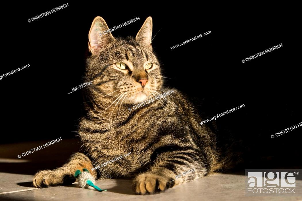 Stock Photo: European shorthair cat with a toy mouse.