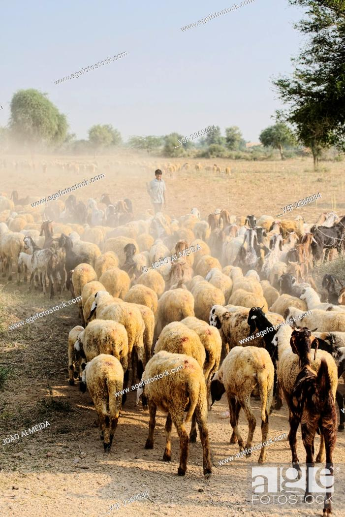 Stock Photo: Sheperd and sheep at the Bishnoi region.