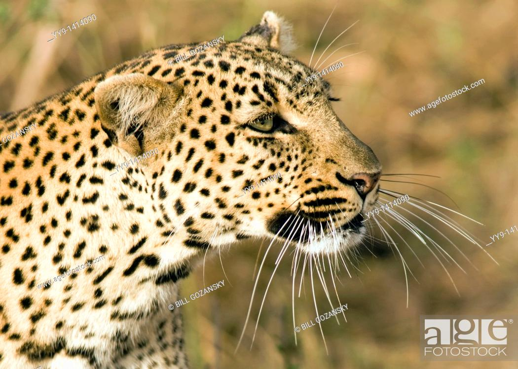 Stock Photo: Close-up of Leopard - Masai Mara National Reserve, Kenya.