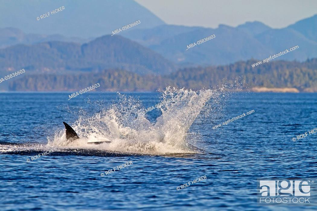 Stock Photo: Transient killer whales (orca, Orcinus orca, T30's & T137's) after killing a sea lion off Malcolm Island near Donegal Head, British Columbia, Canada.