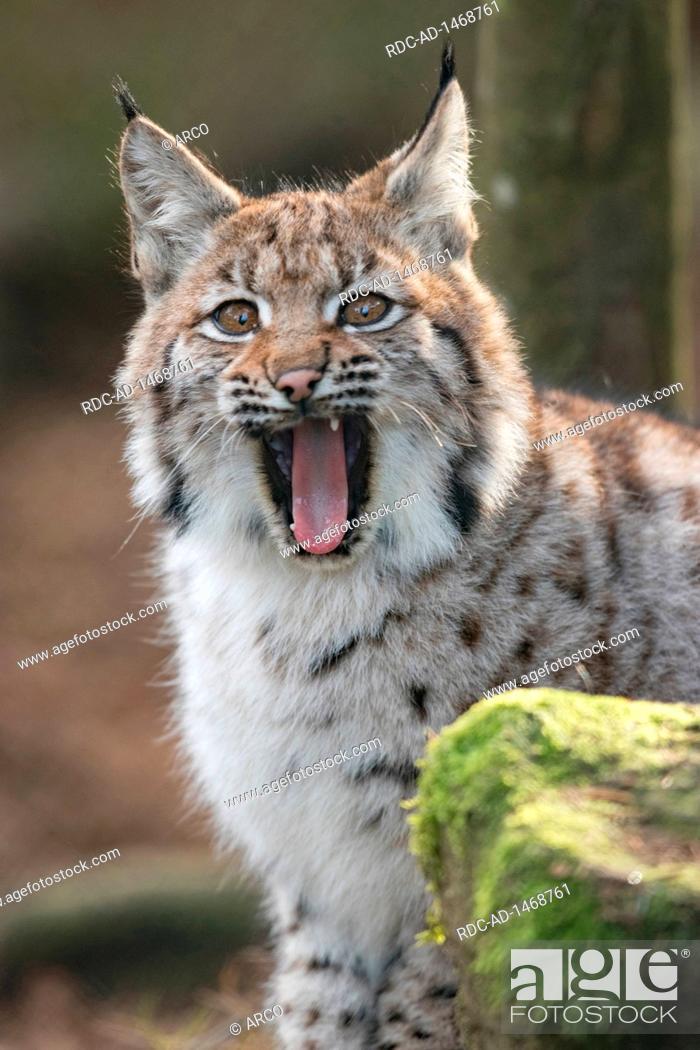 Eurasian lynx, cub, Lynx lynx, Stock Photo, Picture And