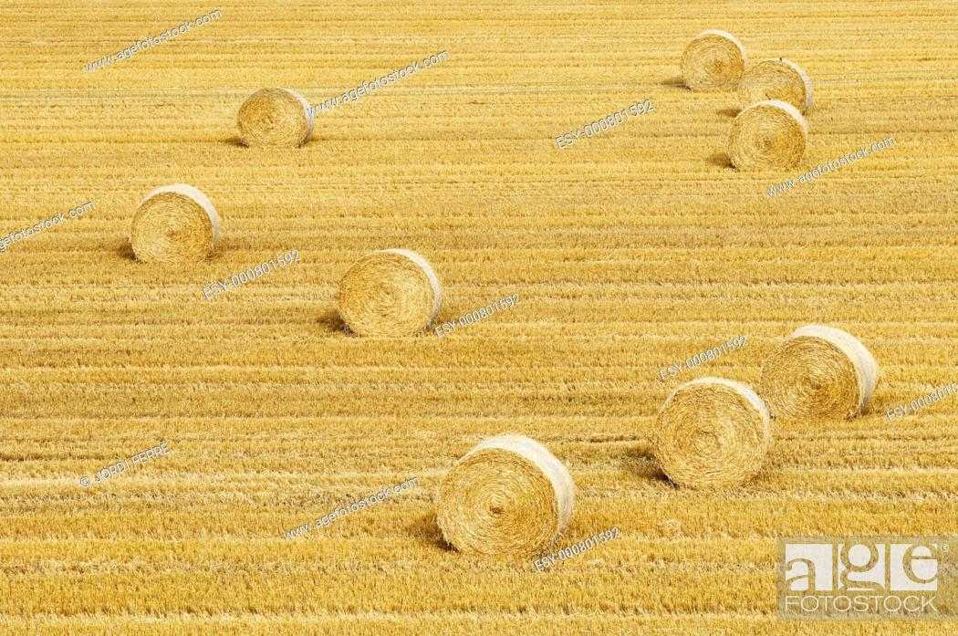Stock Photo: Barley field, Aberdeen region, Scotland, United Kingdom, Europe.