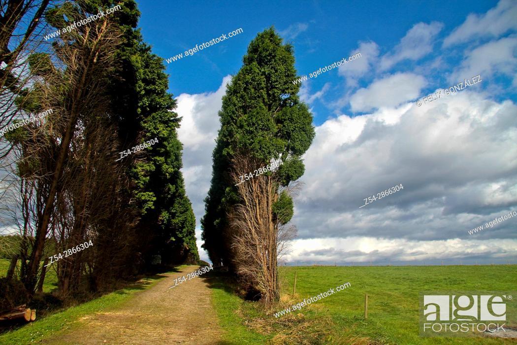 Stock Photo: Cypress path at Asturias, Spain.