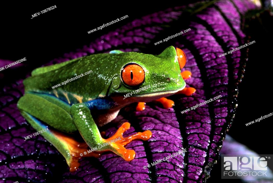 Stock Photo: Red-eyed Tree Frog - on purple leaf (Agalychnis callidryas). distribution: rainforests of Costa Rica. adhesive disks on digits offer greater traction on wet.