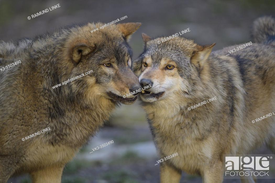 Stock Photo: Wolf, Canis lupus.