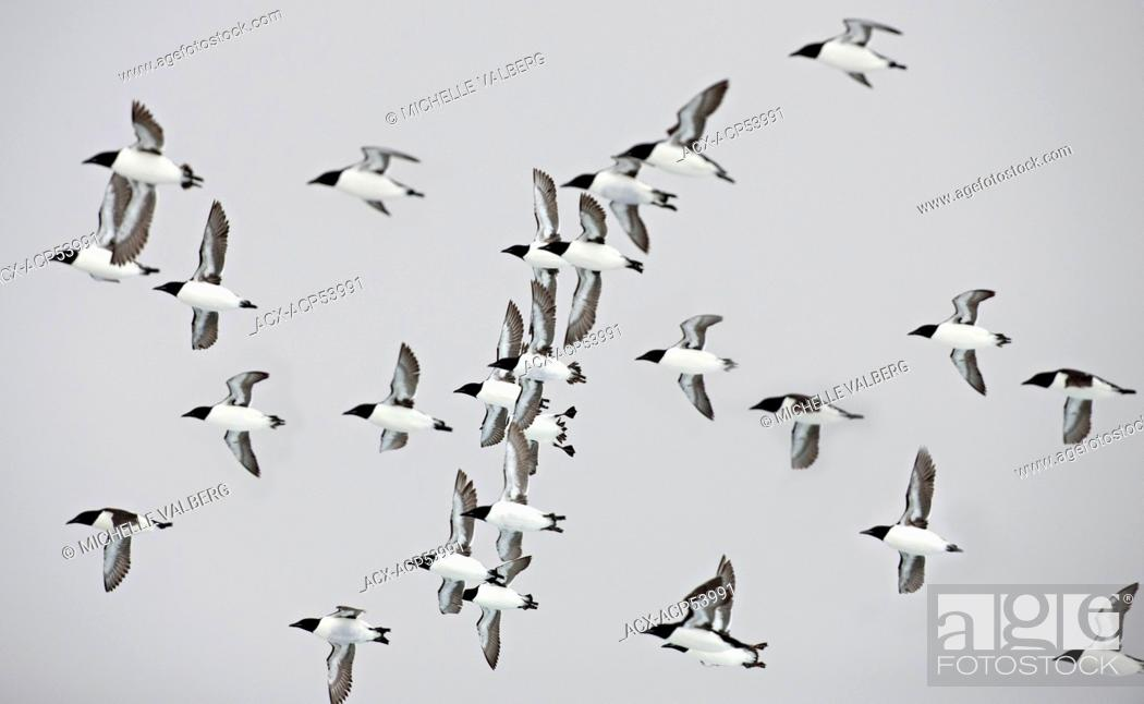 Stock Photo: Flock of Thick-billed Murre, Uria lomvia, Nunavut, Canada.