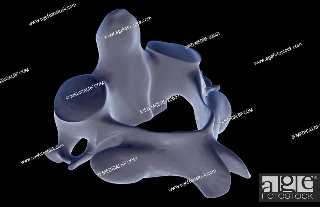 Stock Photo: The axis bone.