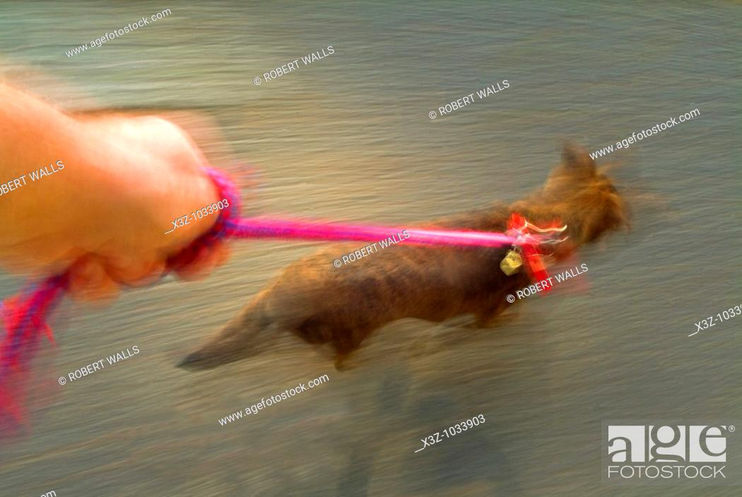 Stock Photo: A young puppy pulling eagerly at her leash.