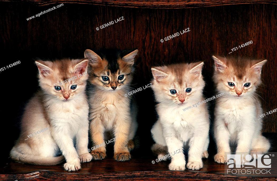 Stock Photo: FAWN SOMALI DOMESTIC CAT, KITTENS SITTING.