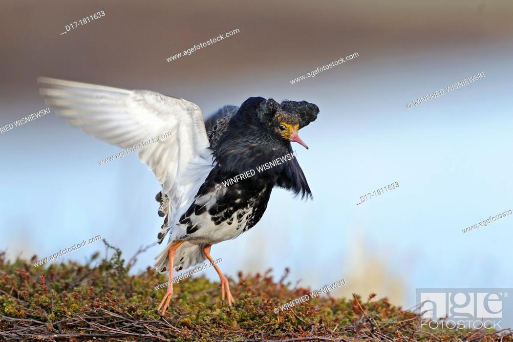 Stock Photo: Ruff (Philomachus pugnax) displaying at a lek in Northern Norway.