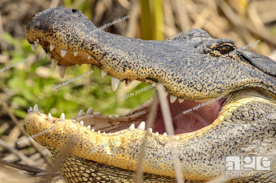 Stock Photo: American alligator (Alligator mississipiensis), Leonabelle birding center, Port Aransas, Texas, USA.