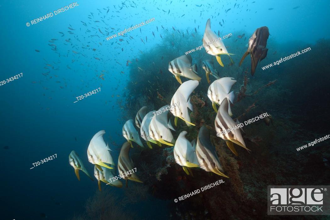 Imagen: Shoal of Longfin Batfish, Platax teira, South Male Atoll, Indian Ocean, Maldives.