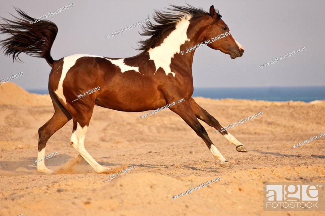 Arabian Horse Galloping In Sand Stock Photo Picture And Rights Managed Image Pic Ssj 158310 Agefotostock