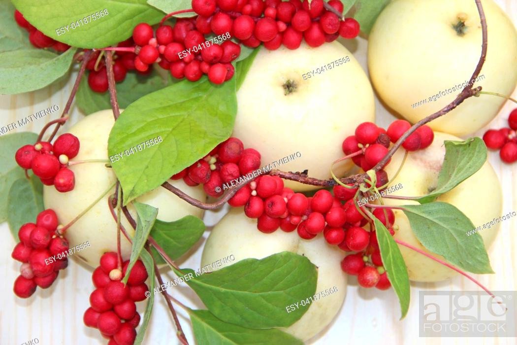 Imagen: Schisandra and white apples. Still life with clusters of ripe schizandra and white apples. Harvest with red schisandra chinensis plants with ripe fruits and.