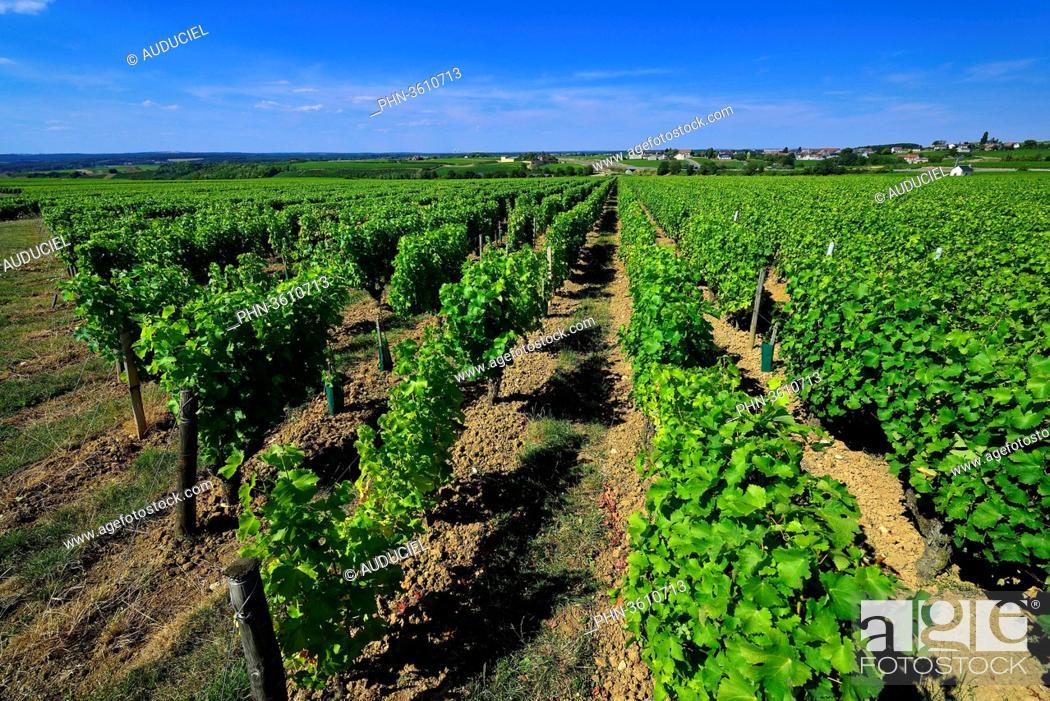 Imagen: Europe, France, vineyards of Sancerre in Cher.