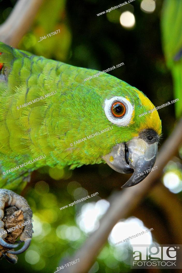 Imagen: Yellow-crowned Amazona parrot (Amazona ochrocephala), Margarita Island.