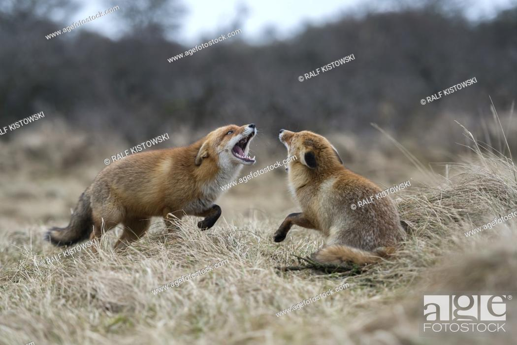 Imagen: Red Foxes / Rotfuechse ( Vulpes vulpes ), two adults, in fight, fighting, threatening with wide open jaws, attacking each other, wildlife, Europe.