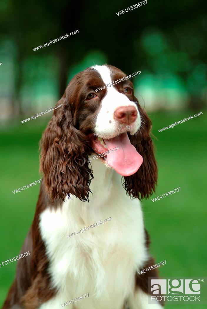 Stock Photo: house pet, springer spaniel, canines, domestic, spaniel, english springer spaniel.