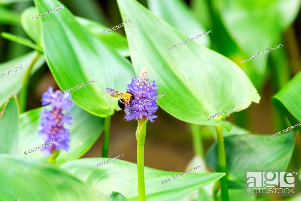 Stock Photo: pickerelweed flower with bee, pontederia cordata in full bloom.