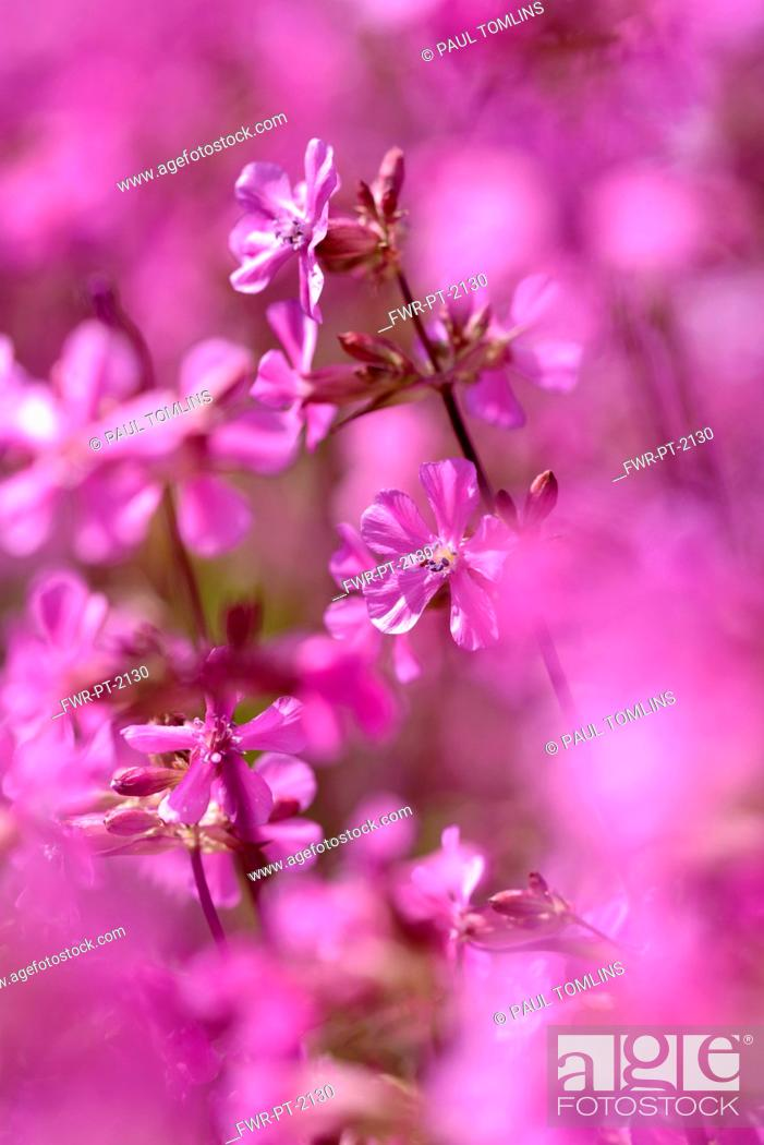Imagen: Yunnan catchfly, Lychnis yunnanensis, Small pink flowers growing outdoor.
