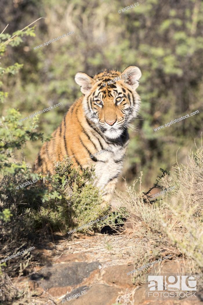 Imagen: Afrique du Sud, Réserve privée, Tigre du Bengale (Panthera tigris tigris), petit de 6 mois au repos / South Africa, Private reserve.