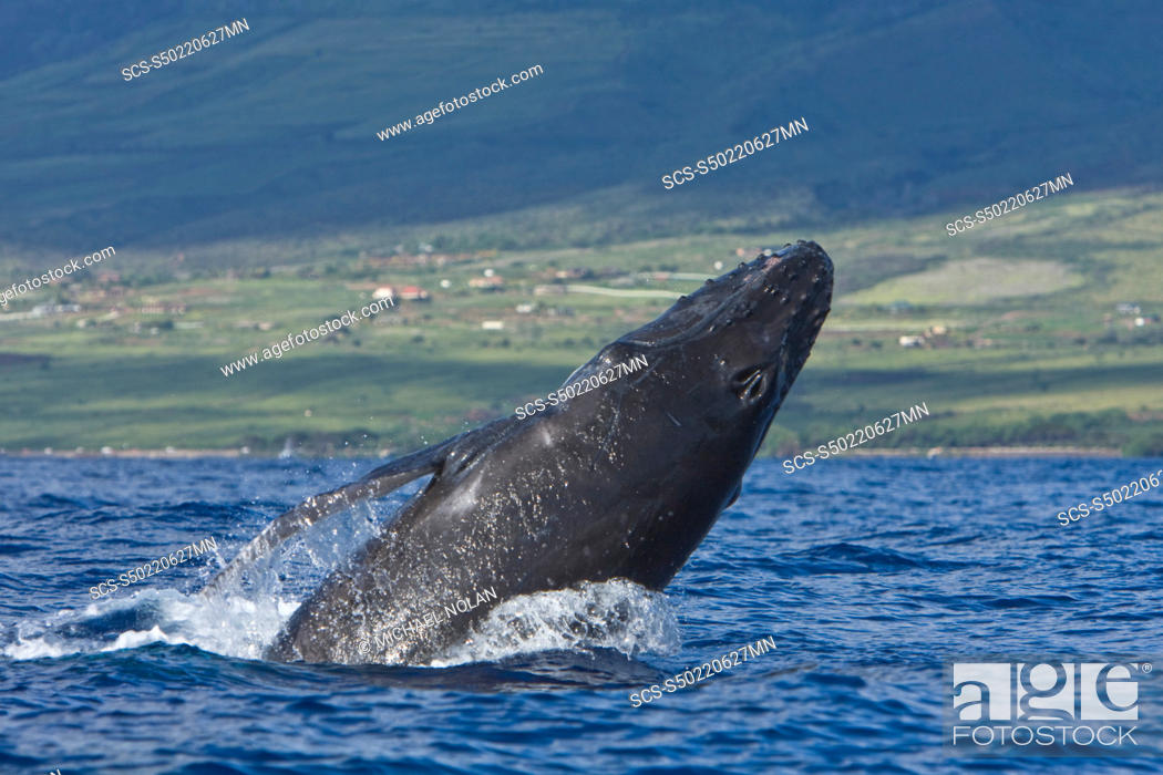 Photo de stock: Humpback whale Megaptera novaeangliae in the AuAu Channel between the islands of Maui and Lanai, Hawaii, USA Each year humpback whales return to these waters in.