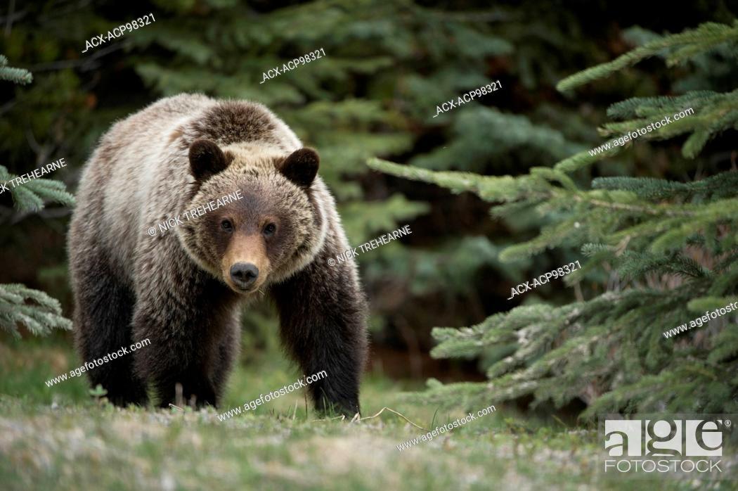 Photo de stock: Ursus arctos horribilis, Grizzly bear, rocky mountains, Alberta, Canada.