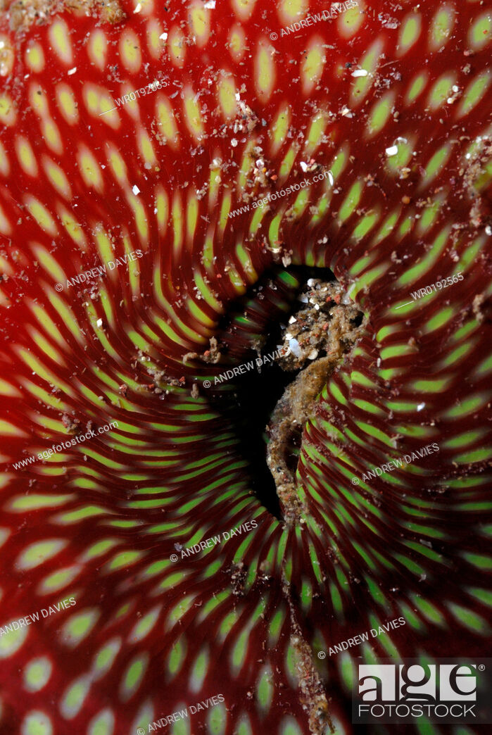 Imagen: Close-up of Strawberry anenome Actinia fragacea, , St Brides, Pembrokeshire, Wales, UK, Europe.