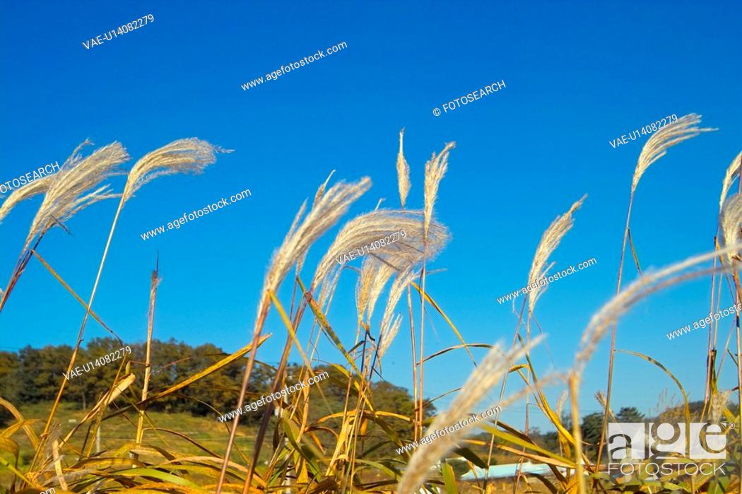 Stock Photo: grasses, eulalia, grass, plants, plant, weed, field.